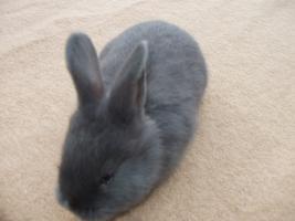 Foto 2 Junge Blaue Wiener Hasen zu verkaufen!
