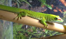 Junge Madagaskar Tag-Geckos