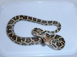 Junge helle Tigerpython (Pimbura)