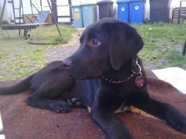 Foto 5 Junger Labrador-Rüde sucht dringend ein neues Zuhause!!!