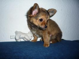 Junger Reinrassiger Mini Chihuahua