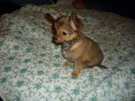 Foto 3 Junger Reinrassiger Mini Chihuahua