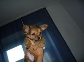 Foto 6 Junger Reinrassiger Mini Chihuahua