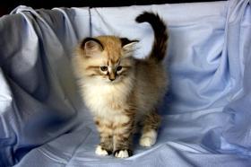Foto 2 Kätzchen Neva Masquarade, Sibirische Katze