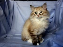 Foto 3 Kätzchen Neva Masquarade, Sibirische Katze