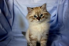 Foto 4 Kätzchen Neva Masquarade, Sibirische Katze