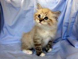 Foto 6 Kätzchen Neva Masquarade, Sibirische Katze