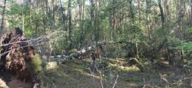 Kaminholz - 20 Birken zum selber Aufarbeiten im Belziger Wald
