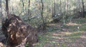 Foto 2 Kaminholz - 20 Birken zum selber Aufarbeiten im Belziger Wald
