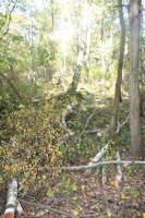 Foto 3 Kaminholz - 20 Birken zum selber Aufarbeiten im Belziger Wald