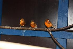 Kanarienvögel (2 Stück)