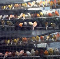 Kanarienvögel  * aus Sprockhövel suchen ein neues Heim