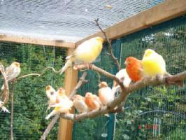 Foto 2 Kanarienvögel  * aus Sprockhövel suchen ein neues Heim