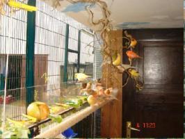 Foto 4 Kanarienvögel  * aus Sprockhövel suchen ein neues Heim
