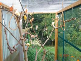Foto 6 Kanarienvögel  * aus Sprockhövel suchen ein neues Heim