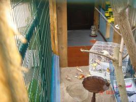 Foto 7 Kanarienvögel  * aus Sprockhövel suchen ein neues Heim