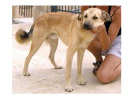 Foto 11 Kangal-Mix Rüde ''Garip'' kostenlos an tierliebe Menschen abzugeben