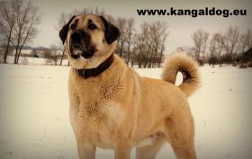 Kangal /Anatolischer Hirtenhund/