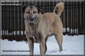 Foto 2 Kangal /Anatolischer Hirtenhund/