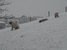 Foto 4 Kangalwelpen aus Österreich!