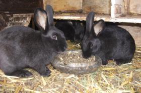 Foto 4 Kaninchen