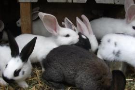 Foto 8 Kaninchen