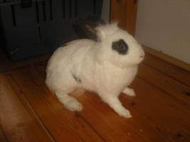Kaninchen DRINGEND wegen Allergie abzugeben