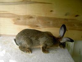 Foto 4 Kaninchen Deutsche Riesenschecken versch. Farben ca. 16 Wochen alt
