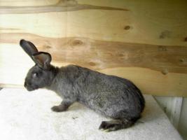 Foto 5 Kaninchen Deutsche Riesenschecken versch. Farben ca. 16 Wochen alt