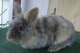 Kaninchen-Männchen, unkastriert, 1,5 Jahre