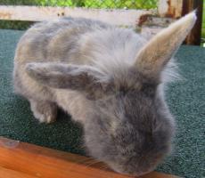Foto 2 Kaninchen-Männchen, unkastriert, 1,5 Jahre