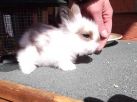 Foto 3 Kaninchenbabys abzugeben