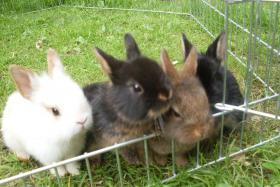 Kaninchenbabys, Widder, Löwenköpfchen, Farbenzwerge schon handzahm ♥