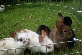 Foto 3 Kaninchenbabys, Widder, Löwenköpfchen, Farbenzwerge schon handzahm ♥