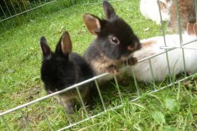 Foto 4 Kaninchenbabys, Widder, Löwenköpfchen, Farbenzwerge schon handzahm ♥