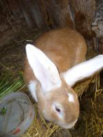 Kaninchenbock
