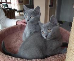 Foto 2 Kartaeuser Chartreux Kitten