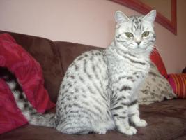 Katze abzugeben BKH Britisch Kurzhaar tabby black  silver spotted (Whiskas- Katze)