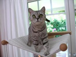 Foto 2 Katze abzugeben BKH Britisch Kurzhaar tabby black  silver spotted (Whiskas- Katze)