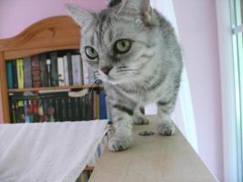 Foto 3 Katze abzugeben BKH Britisch Kurzhaar tabby black  silver spotted (Whiskas- Katze)