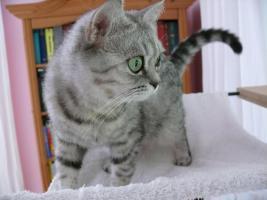 Foto 5 Katze abzugeben BKH Britisch Kurzhaar tabby black  silver spotted (Whiskas- Katze)
