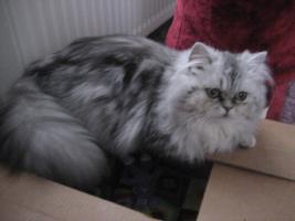 Foto 2 Katze zu verkaufen