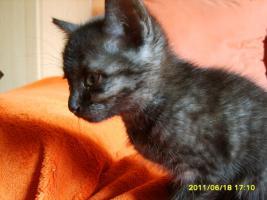 Foto 3 Katzenbabys 11 Wochen alt