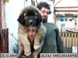 Foto 3 Kaukasischer Owtcharka Welpen mit FCI Papieren