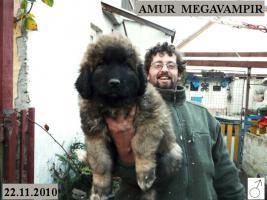 Foto 4 Kaukasischer Owtcharka Welpen mit FCI Papieren