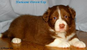 Kennel Devon Exe enters the border collie puppies with pedigree