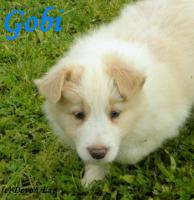 Foto 5 Kennel Devon Exe enters the border collie puppies with pedigree