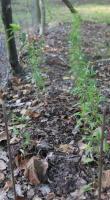 Foto 3 Kerne vom roten Weinbergpfirsich, Samen für eigenen Pfirsichbaum