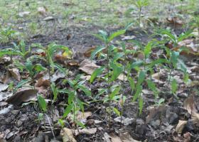 Foto 4 Kerne vom roten Weinbergpfirsich, Samen für eigenen Pfirsichbaum