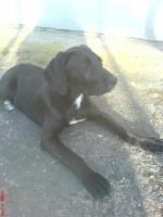 Foto 3 Kira Dogge-Labrador  11 Monate alt